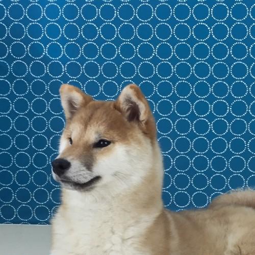 柴犬の子犬(ID:1262511471)の1枚目の写真/更新日:2018-03-23