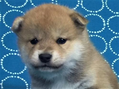 柴犬の子犬(ID:1262511472)の3枚目の写真/更新日:2018-01-13