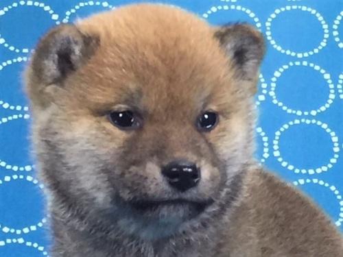 柴犬の子犬(ID:1262511473)の1枚目の写真/更新日:2018-01-15