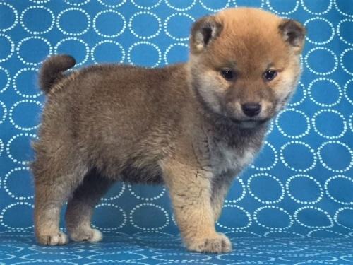 柴犬の子犬(ID:1262511473)の2枚目の写真/更新日:2018-01-15