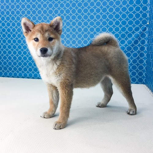 柴犬の子犬(ID:1262511474)の5枚目の写真/更新日:2018-04-20