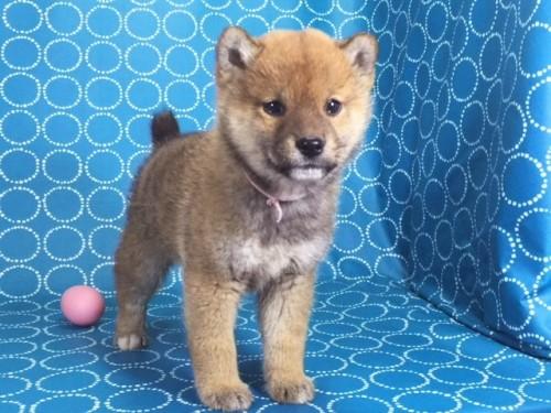 柴犬の子犬(ID:1262511475)の3枚目の写真/更新日:2018-01-15