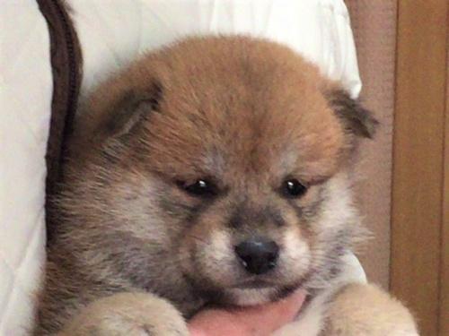 柴犬の子犬(ID:1262511476)の1枚目の写真/更新日:2018-01-16