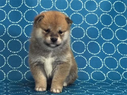柴犬の子犬(ID:1262511476)の5枚目の写真/更新日:2018-01-16