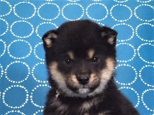 柴犬の子犬(ID:1262511477)の1枚目の写真/更新日:2018-01-16