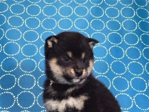 柴犬の子犬(ID:1262511477)の2枚目の写真/更新日:2018-01-16