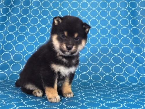 柴犬の子犬(ID:1262511477)の3枚目の写真/更新日:2018-01-16