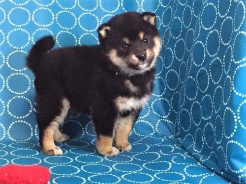 柴犬の子犬(ID:1262511477)の5枚目の写真/更新日:2018-01-16