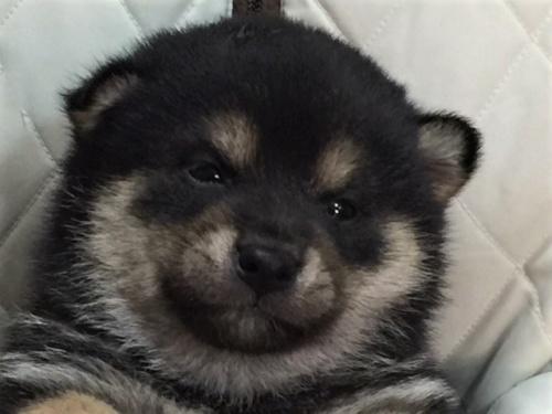 柴犬の子犬(ID:1262511478)の1枚目の写真/更新日:2018-01-16