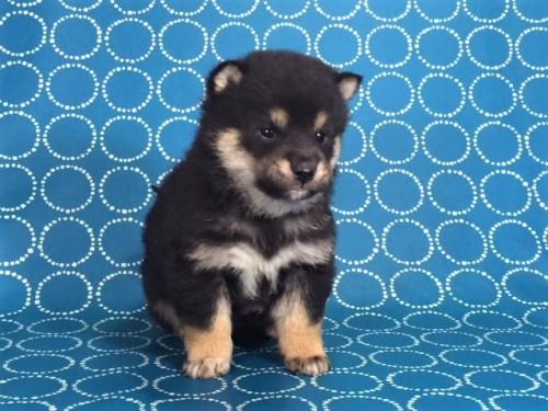柴犬の子犬(ID:1262511478)の2枚目の写真/更新日:2018-01-16