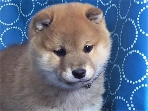 柴犬の子犬(ID:1262511479)の1枚目の写真/更新日:2018-02-04