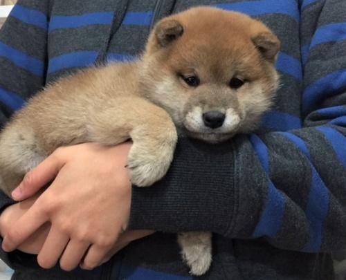 柴犬の子犬(ID:1262511479)の4枚目の写真/更新日:2018-02-04