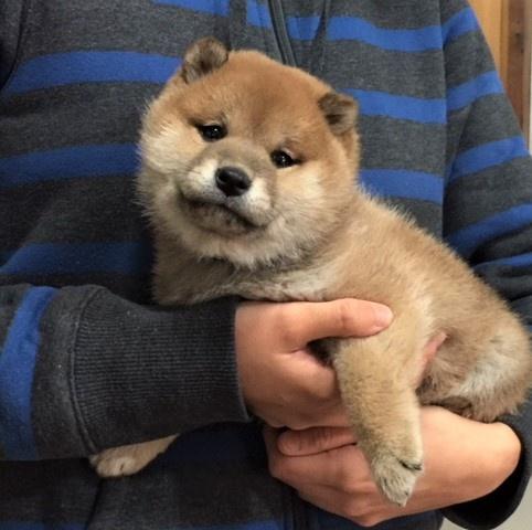 柴犬の子犬(ID:1262511479)の5枚目の写真/更新日:2018-02-04
