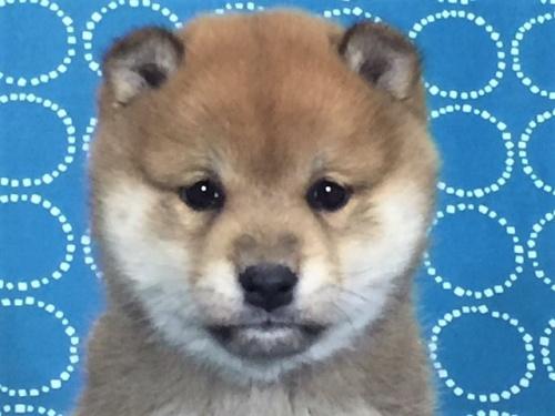 柴犬の子犬(ID:1262511480)の1枚目の写真/更新日:2018-02-04