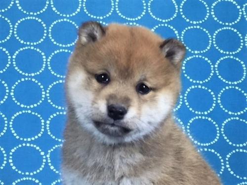 柴犬の子犬(ID:1262511480)の5枚目の写真/更新日:2018-02-04