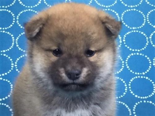 柴犬の子犬(ID:1262511481)の1枚目の写真/更新日:2018-01-23