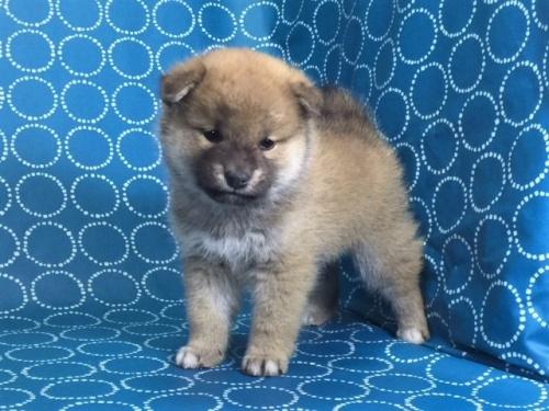 柴犬の子犬(ID:1262511481)の2枚目の写真/更新日:2018-01-23