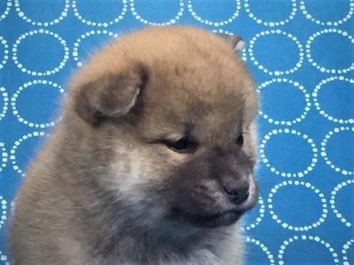 柴犬の子犬(ID:1262511481)の4枚目の写真/更新日:2018-01-23