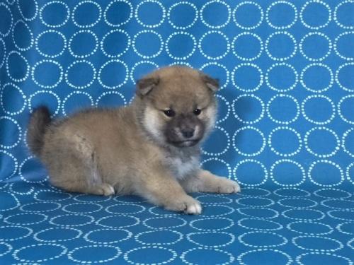 柴犬の子犬(ID:1262511481)の5枚目の写真/更新日:2018-01-23