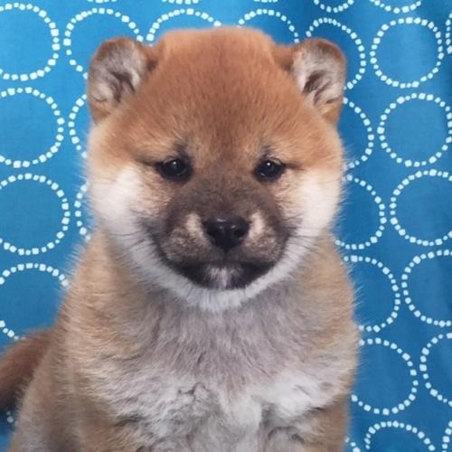 柴犬の子犬(ID:1262511482)の1枚目の写真/更新日:2018-02-17