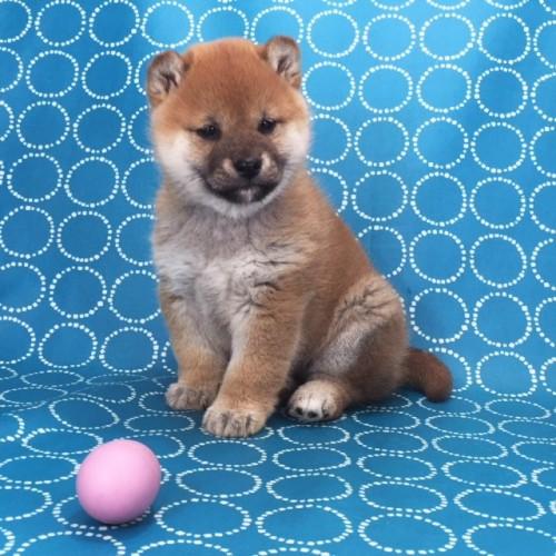 柴犬の子犬(ID:1262511482)の4枚目の写真/更新日:2018-02-17