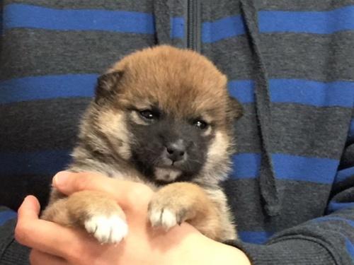 柴犬の子犬(ID:1262511483)の1枚目の写真/更新日:2018-02-15