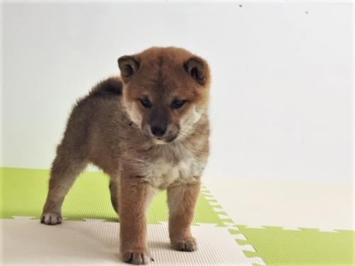 柴犬の子犬(ID:1262511484)の2枚目の写真/更新日:2018-03-09