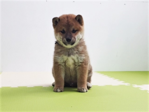 柴犬の子犬(ID:1262511484)の3枚目の写真/更新日:2018-03-09