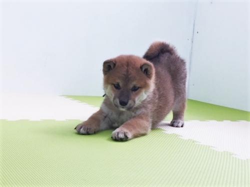 柴犬の子犬(ID:1262511484)の4枚目の写真/更新日:2018-03-09