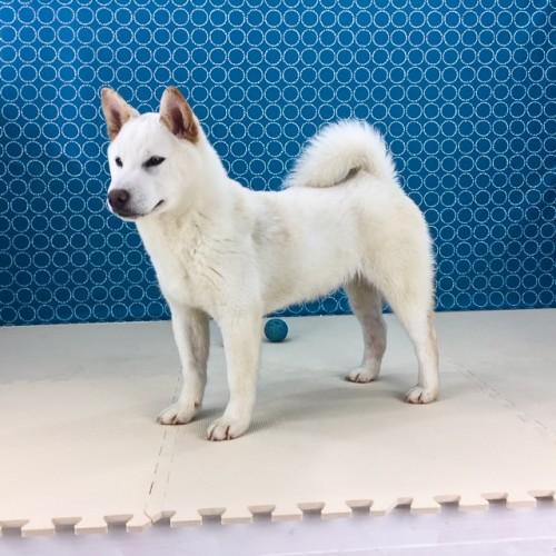 柴犬の子犬(ID:1262511486)の2枚目の写真/更新日:2018-04-09