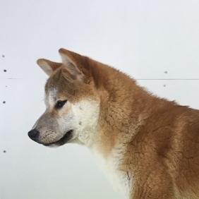 柴犬の子犬(ID:1262511487)の1枚目の写真/更新日:2018-02-17