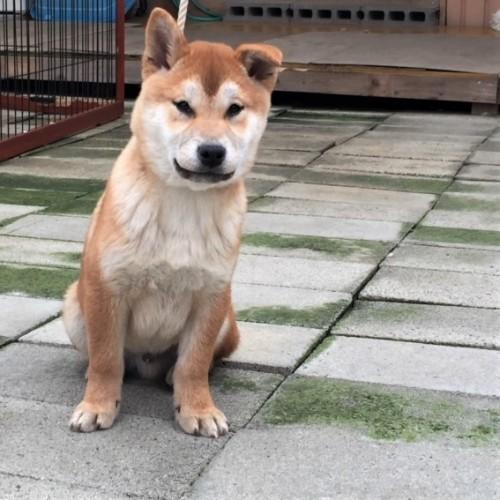 柴犬の子犬(ID:1262511488)の2枚目の写真/更新日:2018-02-17