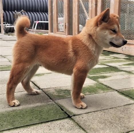 柴犬の子犬(ID:1262511488)の3枚目の写真/更新日:2018-02-17