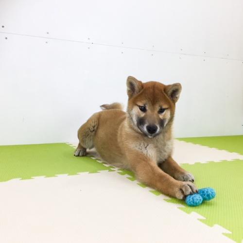 柴犬の子犬(ID:1262511489)の2枚目の写真/更新日:2018-02-23