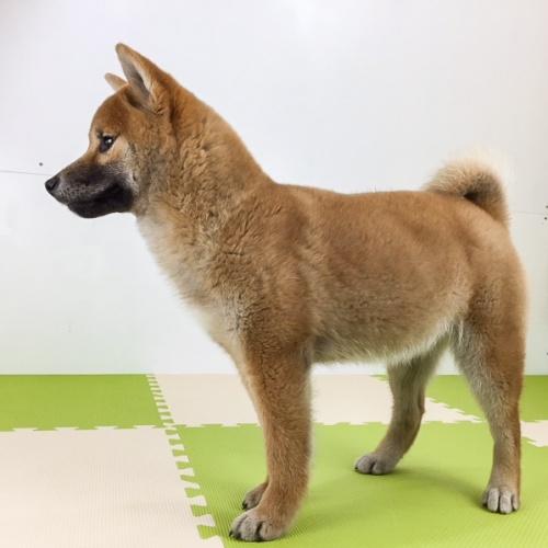 柴犬の子犬(ID:1262511489)の3枚目の写真/更新日:2018-02-23