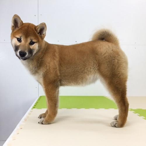 柴犬の子犬(ID:1262511489)の4枚目の写真/更新日:2018-02-23
