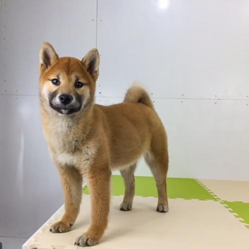 柴犬の子犬(ID:1262511489)の5枚目の写真/更新日:2018-02-23
