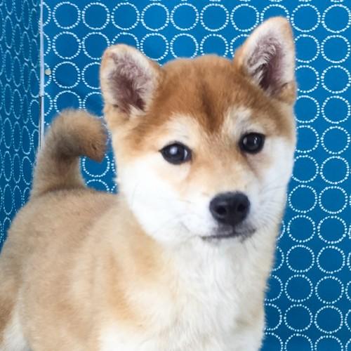 柴犬の子犬(ID:1262511491)の1枚目の写真/更新日:2018-04-21