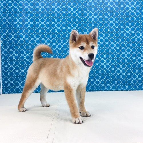 柴犬の子犬(ID:1262511491)の3枚目の写真/更新日:2018-04-21