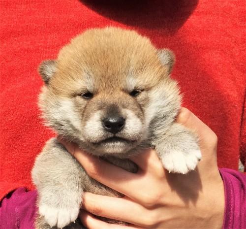 柴犬の子犬(ID:1262511492)の1枚目の写真/更新日:2018-03-14