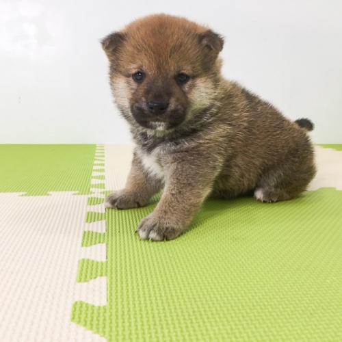柴犬の子犬(ID:1262511493)の4枚目の写真/更新日:2018-03-25