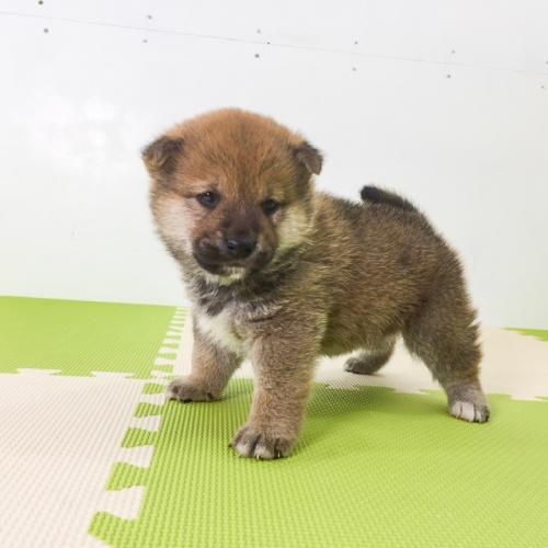 柴犬の子犬(ID:1262511493)の5枚目の写真/更新日:2018-03-25