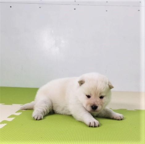 柴犬の子犬(ID:1262511494)の3枚目の写真/更新日:2018-03-16
