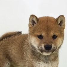 柴犬の子犬(ID:1262511495)の1枚目の写真/更新日:2018-04-04