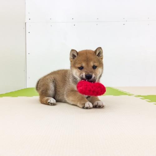 柴犬の子犬(ID:1262511495)の5枚目の写真/更新日:2018-04-04