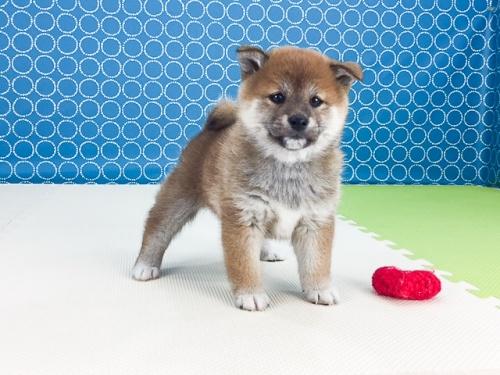 柴犬の子犬(ID:1262511497)の4枚目の写真/更新日:2018-04-10
