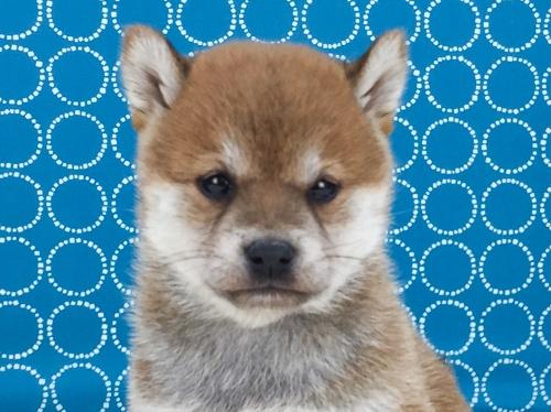 柴犬の子犬(ID:1262511498)の2枚目の写真/更新日:2018-04-11