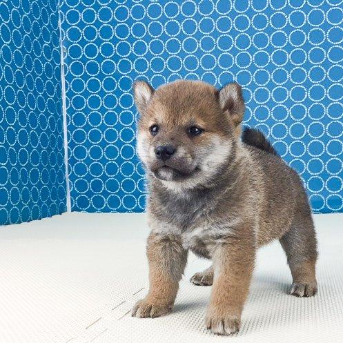 柴犬の子犬(ID:1262511499)の2枚目の写真/更新日:2018-04-11