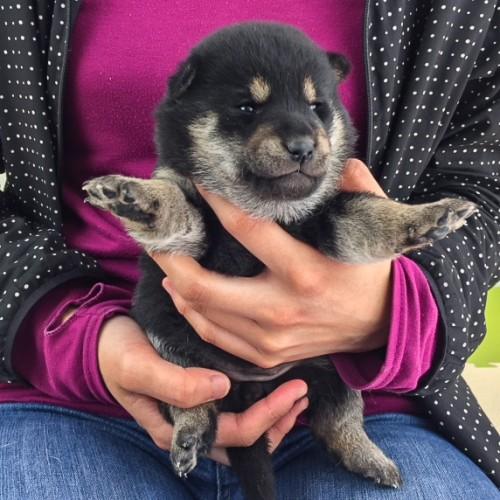 柴犬の子犬(ID:1262511500)の2枚目の写真/更新日:2018-04-11