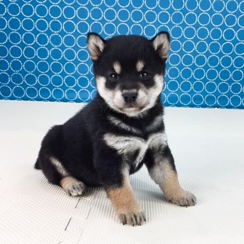 柴犬の子犬(ID:1262511501)の3枚目の写真/更新日:2018-04-19